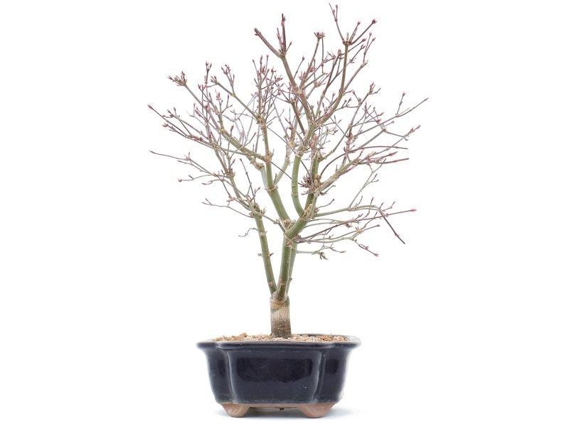 Acer palmatum Deshojo, 31 cm, ± 10 jaar oud