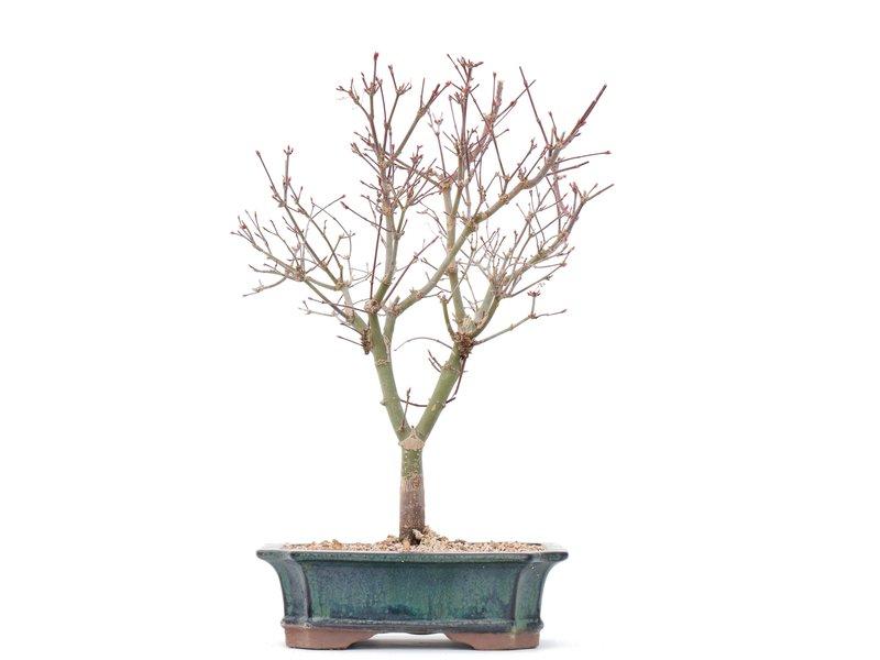 Acer palmatum Deshojo, 33,5 cm, ± 10 jaar oud, In een gebarsten pot