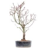 Acer palmatum Deshojo, 36 cm, ± 10 jaar oud, In gebarsten pot
