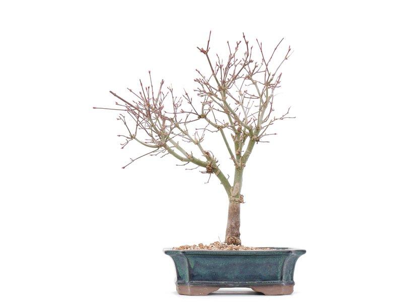 Acer palmatum Deshojo, 32 cm, ± 10 jaar oud, In een gebarsten pot