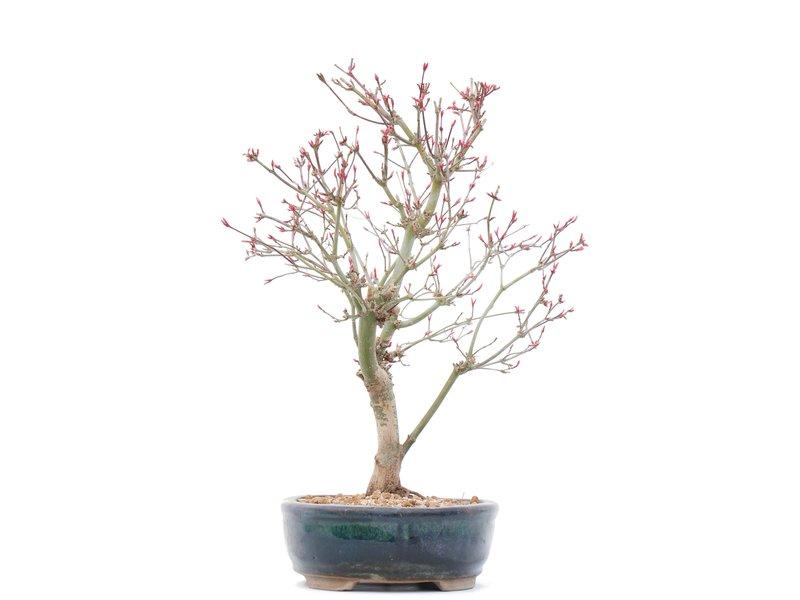 Acer palmatum Deshojo, 31,5 cm, ± 10 jaar oud