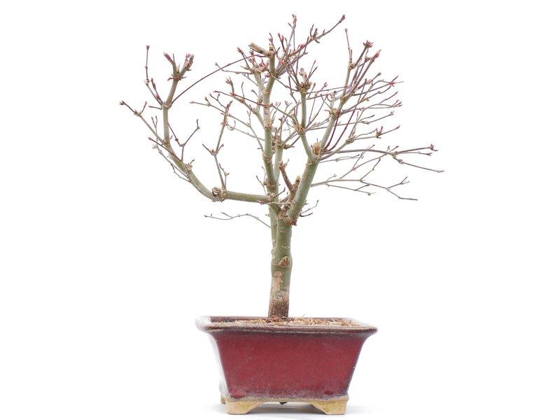 Acer palmatum Deshojo, 28,5 cm, ± 10 jaar oud