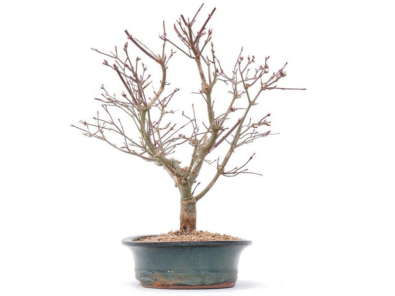 Acer palmatum Deshojo, 29,5 cm, ± 10 jaar oud