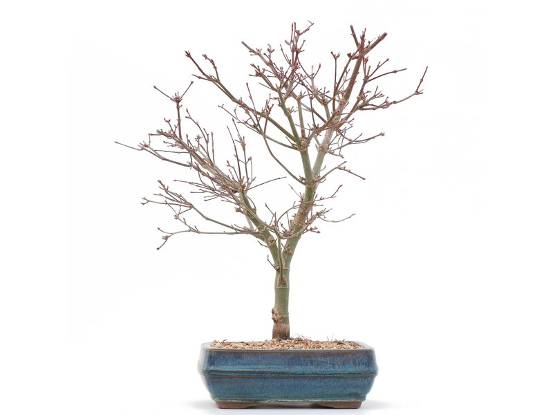 Acer palmatum Deshojo, 36 cm, ± 10 jaar oud