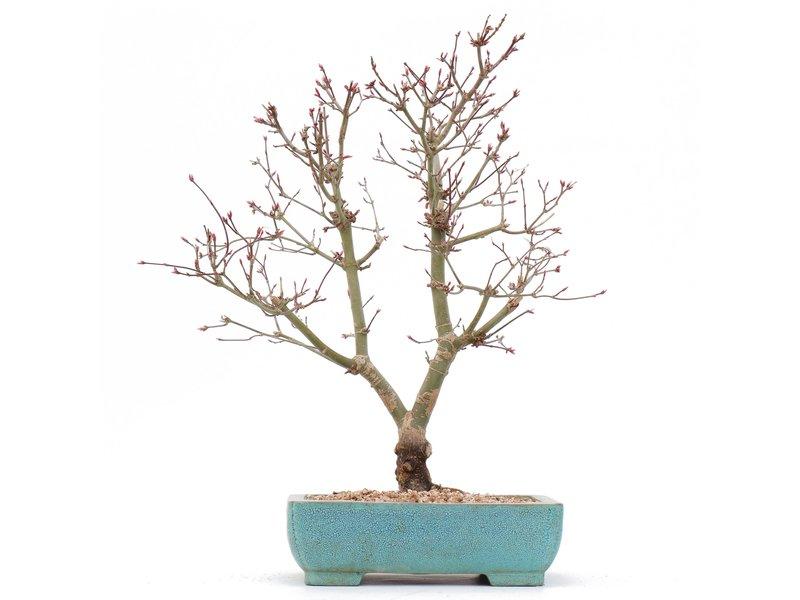Acer palmatum Deshojo, 33 cm, ± 10 jaar oud