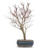 Acer palmatum Deshojo, 32 cm, ± 10 jaar oud