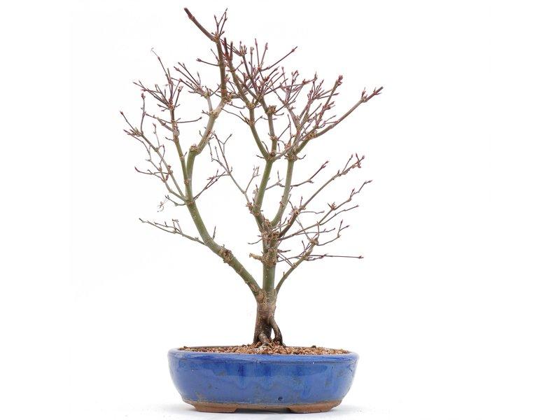 Acer palmatum Deshojo, 34,5 cm, ± 10 jaar oud