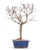 Acer palmatum Deshojo, 28 cm, ± 10 jaar oud