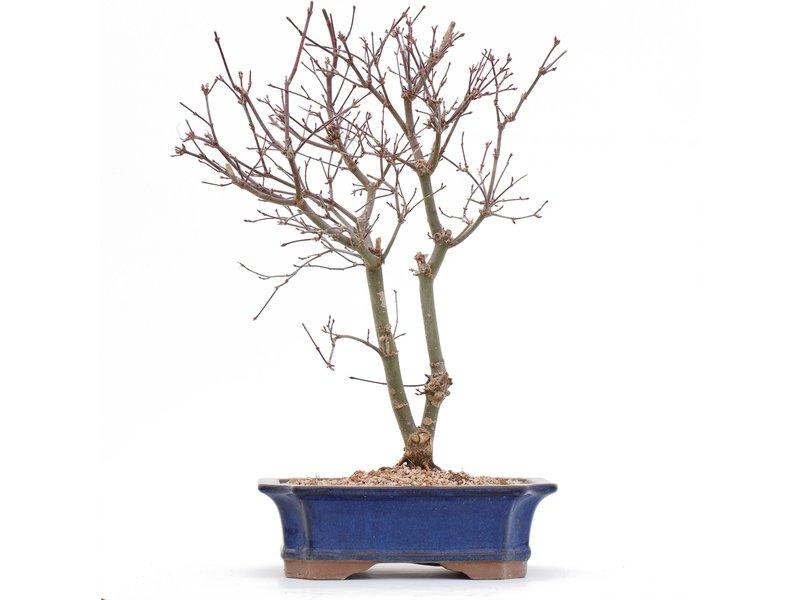Acer palmatum Deshojo, 33,5 cm, ± 10 jaar oud