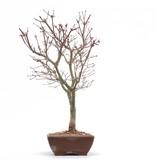 Acer palmatum Deshojo, 37,5 cm, ± 10 jaar oud