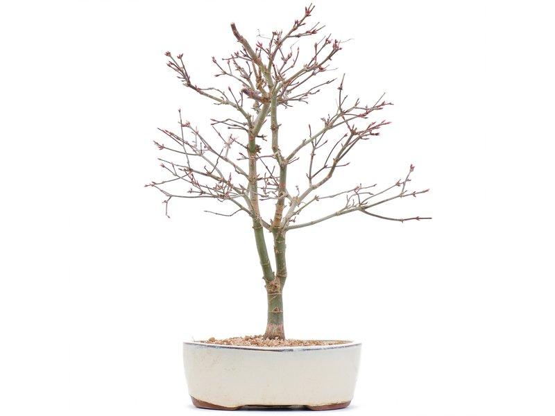 Acer palmatum Deshojo, 35,5 cm, ± 10 jaar oud