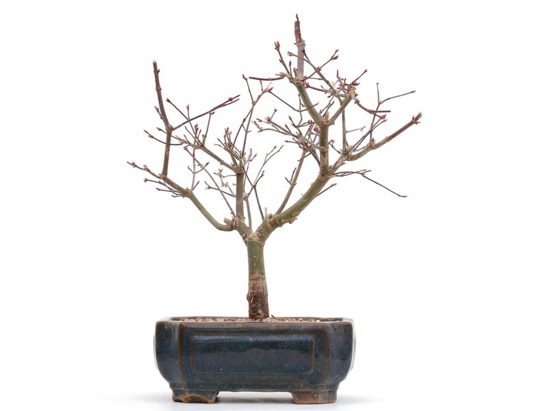 Acer palmatum Deshojo, 24,5 cm, ± 8 jaar oud, in een pot met een chip van een van de pootjes
