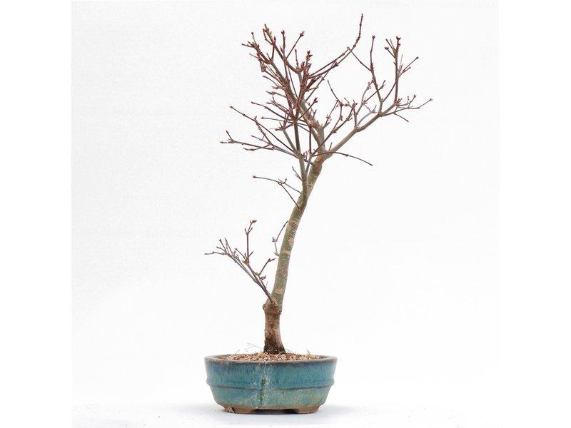 Acer palmatum Deshojo, 36 cm, ± 8 jaar oud, In een gebarsten pot