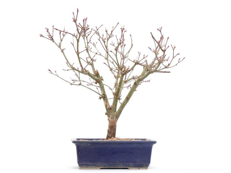 Acer palmatum Deshojo, 29 cm, ± 8 jaar oud