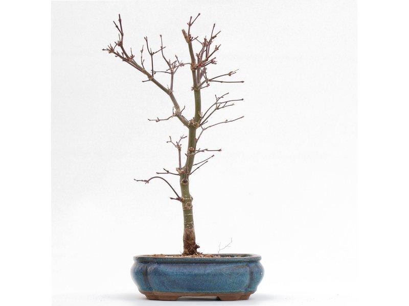 Acer palmatum Deshojo, 32 cm, ± 8 jaar oud