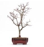 Acer palmatum Deshojo, 33,5 cm, ± 8 jaar oud, in een pot met een chip van twee voetjes