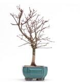 Acer palmatum Deshojo, 29,5 cm, ± 8 jaar oud