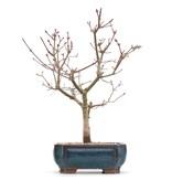Acer palmatum Deshojo, 30 cm, ± 8 jaar oud, in een pot met een heel klein chipje van een van de pootjes