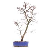 Acer palmatum Deshojo, 39 cm, ± 8 jaar oud