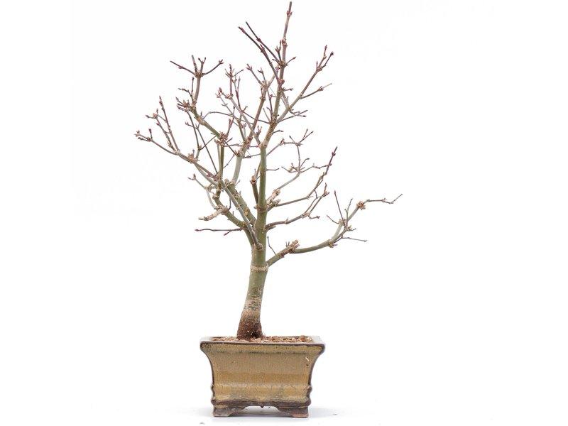 Acer palmatum Deshojo, 31 cm, ± 8 jaar oud, in een pot met een chip van de rand