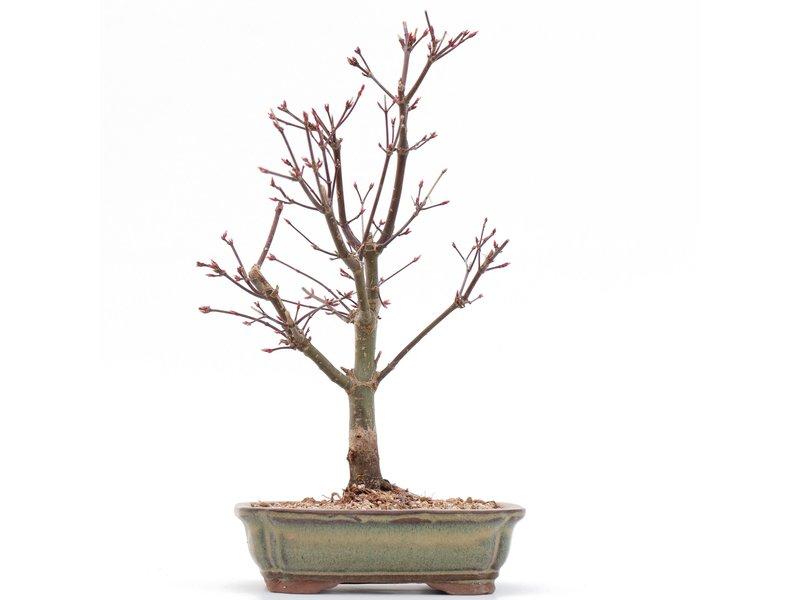 Acer palmatum Deshojo, 26,5 cm, ± 8 jaar oud