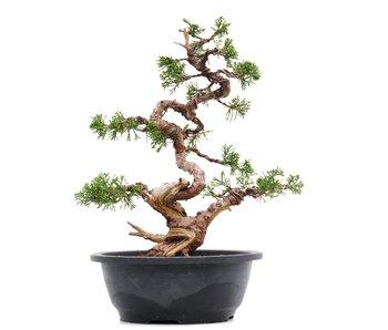 Juniperus chinensis Itoigawa, 32 cm, ± 23 jaar oud