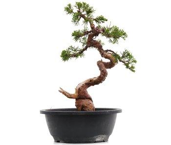 Juniperus chinensis Itoigawa, 31 cm, ± 23 jaar oud