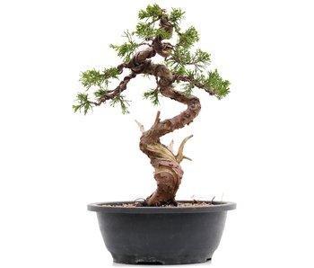 Juniperus chinensis Itoigawa, 29,5 cm, ± 23 jaar oud