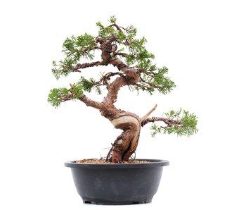 Juniperus chinensis Itoigawa, 30,5 cm, ± 23 jaar oud