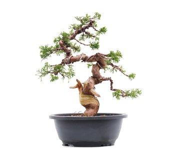 Juniperus chinensis Itoigawa, 29,5 cm, ± 23 years old