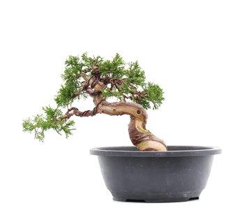 Juniperus chinensis Itoigawa, 18 cm, ± 23 jaar oud