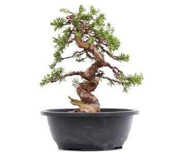 Juniperus chinensis Itoigawa, 25 cm, ± 23 jaar oud