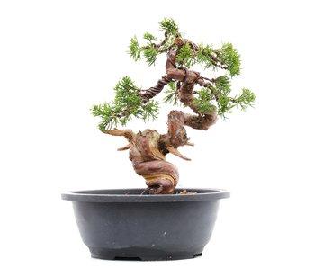Juniperus chinensis Itoigawa, 24 cm, ± 23 years old