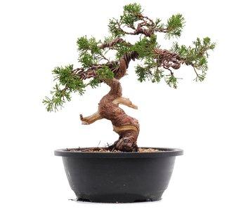 Juniperus chinensis Itoigawa, 25,5 cm, ± 23 jaar oud