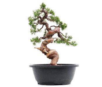 Juniperus chinensis Itoigawa, 26,5 cm, ± 23 jaar oud
