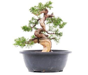 Juniperus chinensis Itoigawa, 21,5 cm, ± 23 jaar oud