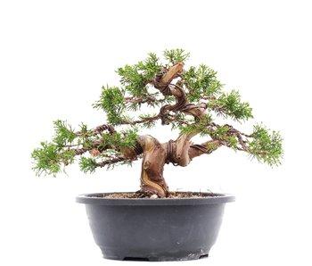 Juniperus chinensis Itoigawa, 21 cm, ± 23 jaar oud