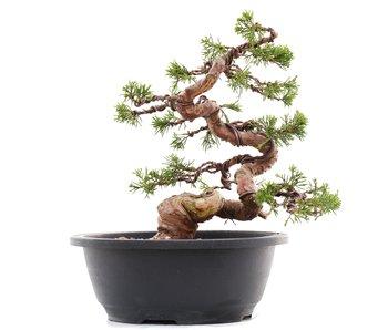 Juniperus chinensis Itoigawa, 23,5 cm, ± 23 years old