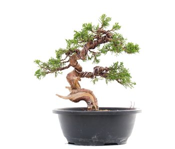 Juniperus chinensis Itoigawa, 23,5 cm, ± 23 jaar oud