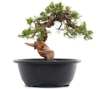 Juniperus chinensis Itoigawa, 20,5 cm, ± 23 jaar oud
