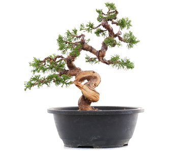 Juniperus chinensis Itoigawa, 26 cm, ± 23 jaar oud