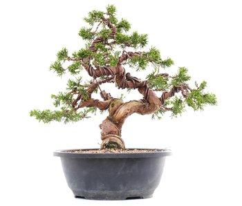 Juniperus chinensis Itoigawa, 27,5 cm, ± 23 jaar oud
