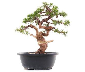 Juniperus chinensis Itoigawa, 27 cm, ± 23 years old
