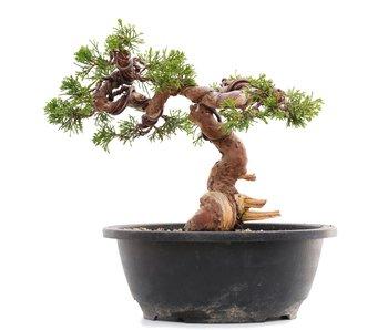Juniperus chinensis Itoigawa, 19,5 cm, ± 23 jaar oud