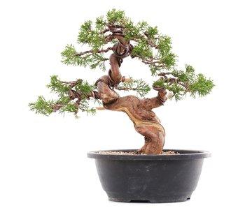 Juniperus chinensis Itoigawa, 26 cm, ± 23 años