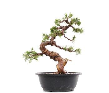 Juniperus chinensis Itoigawa, 28 cm, ± 23 años