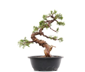 Juniperus chinensis Itoigawa, 28 cm, ± 23 jaar oud
