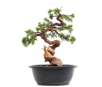 Juniperus chinensis Itoigawa, 27,5 cm, ± 23 años