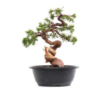 Juniperus chinensis Itoigawa, 27,5 cm, ± 23 years old