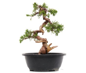 Juniperus chinensis Itoigawa, 27 cm, ± 23 anni